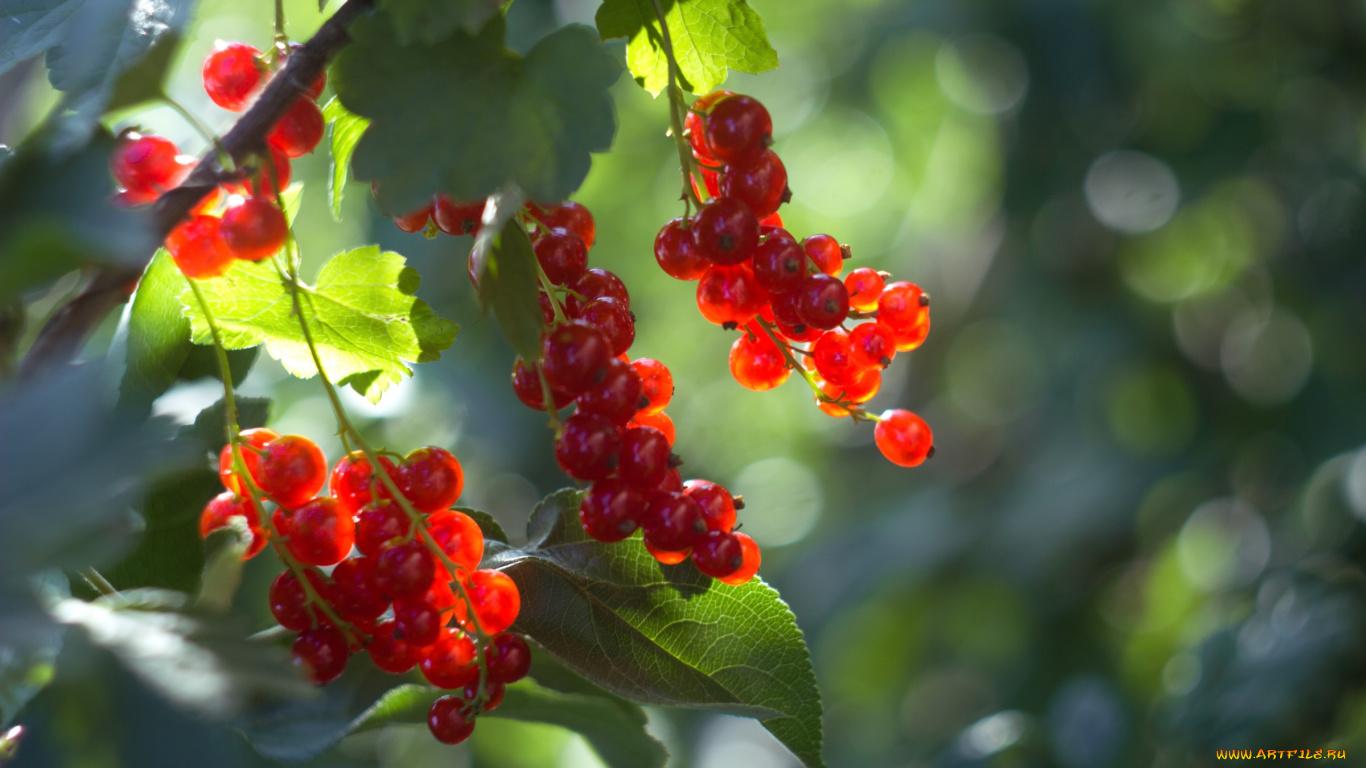 природа ягоды смородина nature berries currant бесплатно