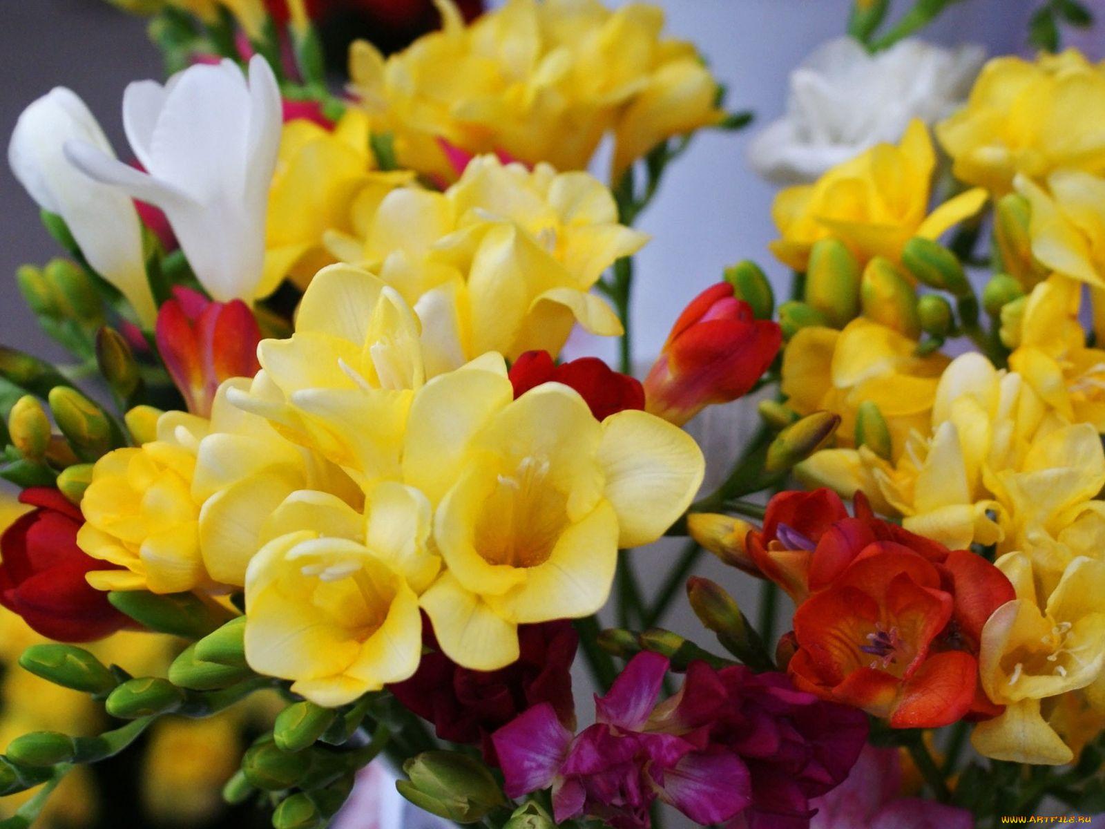 Любви, цветы фрезия картинки