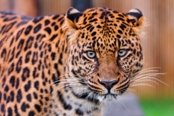 Картинка животные леопарды взгляд хищник