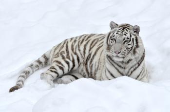 Картинка животные тигры снег белый