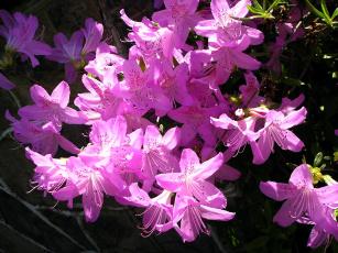 обоя цветы, рододендроны , азалии, розовый