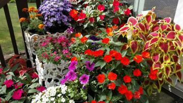 Картинка цветы разные+вместе петуния бархатцы бальзамин