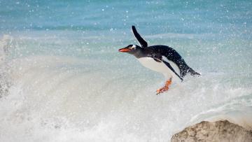 обоя животные, пингвины, птица, океан, пингвин, папуанский, сёрфинг, волна