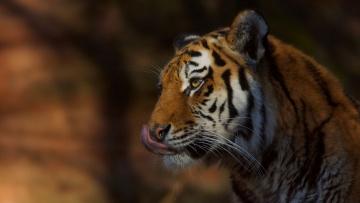 обоя животные, тигры, хищник