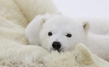обоя животные, медведи, медвежонок, белый, полярный