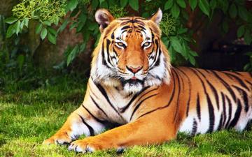 обоя животные, тигры, деревья, трава, тигр, рыжий