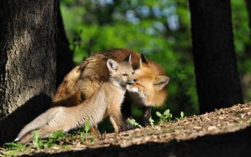 Картинка животные лисы лисёнок материнство