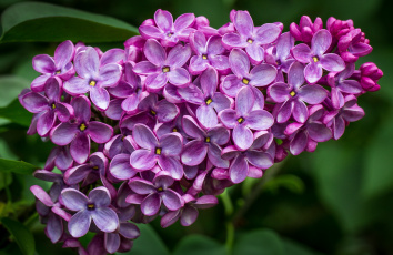 Картинка цветы сирень гроздь