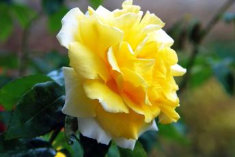 Картинка цветы розы желтый