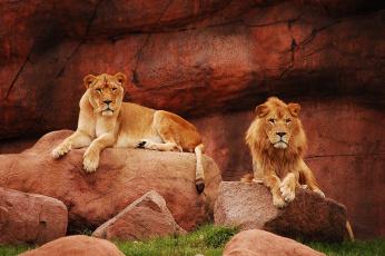 Картинка животные львы хищники пара