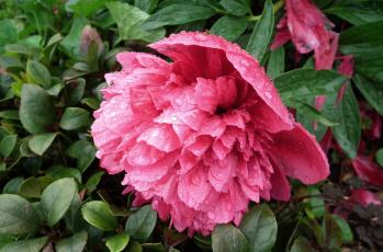 обоя цветы, пионы, капли, макро, розовый