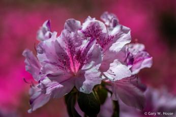 обоя цветы, рододендроны , азалии, розовые