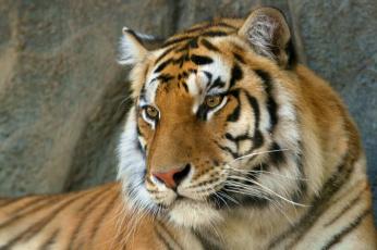 обоя животные, тигры, хищник, зверь, тигр