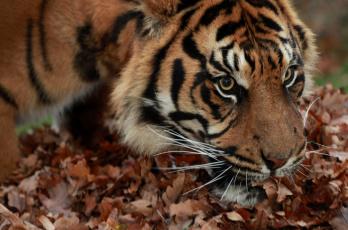 обоя животные, тигры, осень, листья, тигр