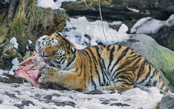 обоя животные, тигры, тигр, еда, мясо, камни, снег