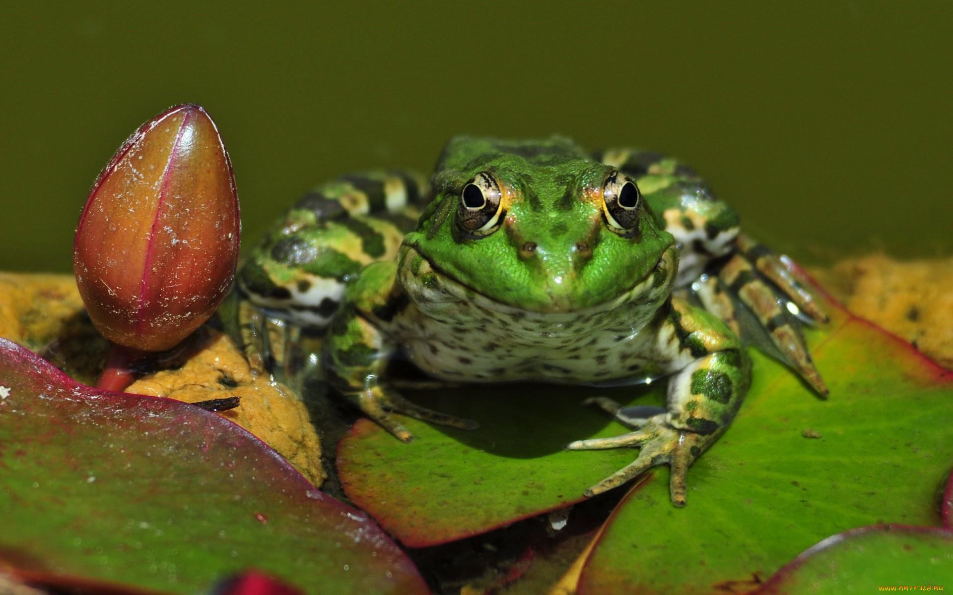 растение лягушка животное природа лист  № 1423096  скачать