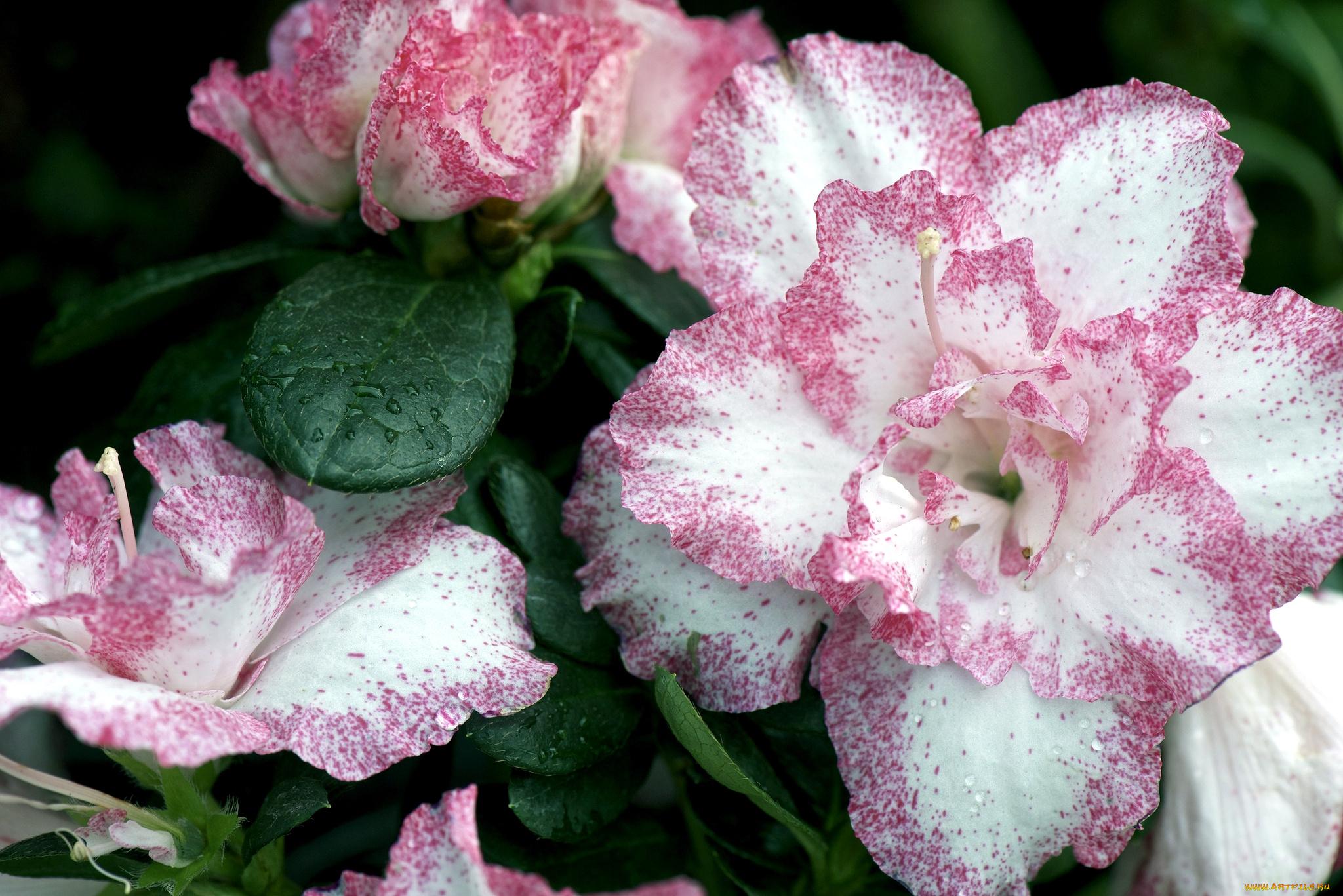 азалия лепестки цветы  № 3898066 без смс