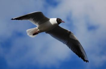 Картинка животные Чайки бакланы крачки взмах небо облака синее крылья озерная чайка полет
