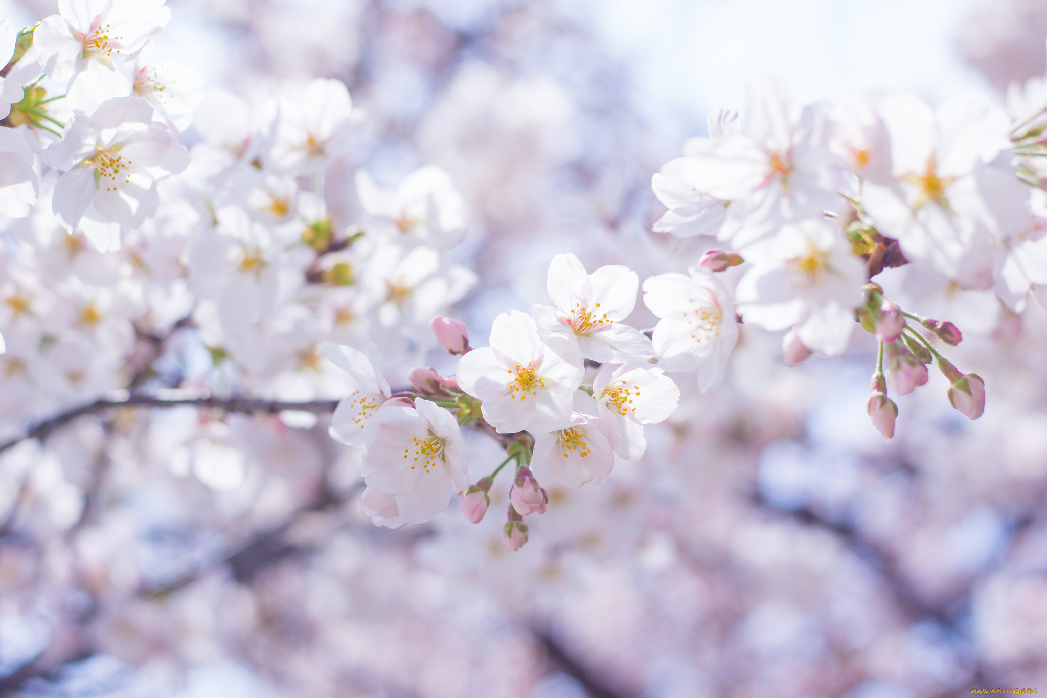 природа ветки белые цветы загрузить