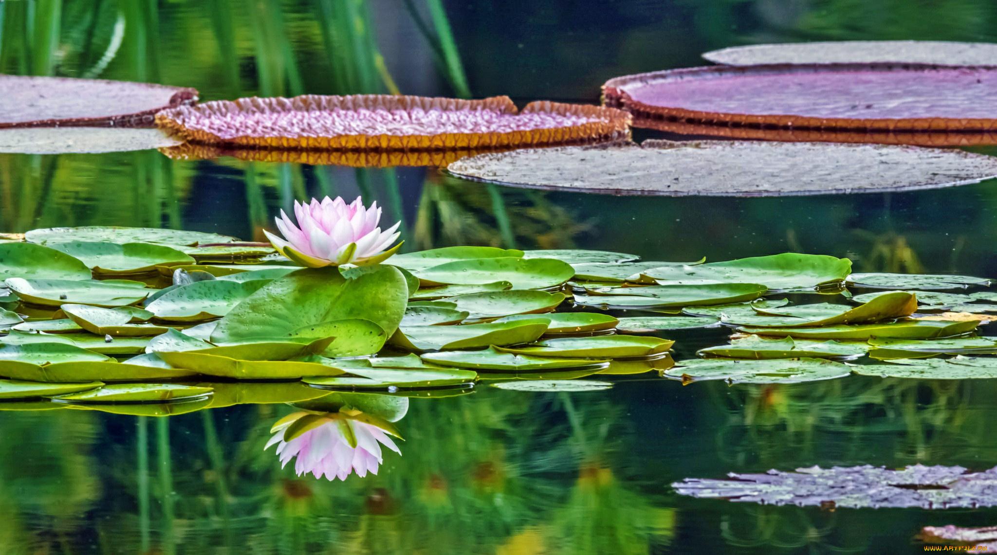 лилии озеро отражение  № 3274830 бесплатно