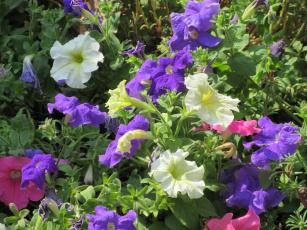 обоя цветы, петунии,  калибрахоа