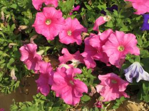 обоя цветы, петунии,  калибрахоа, розовые