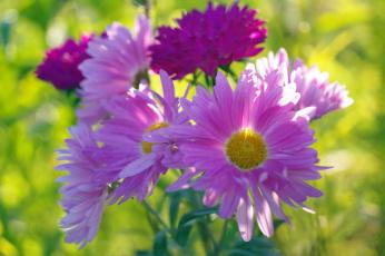 обоя цветы, астры, дача, природа, осень, хризантемы, сентябрь, красота, букет