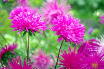 обоя цветы, астры, осень, растения, флора, сентябрь, природа, позитив, красота