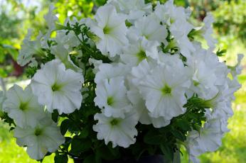 обоя цветы, петунии,  калибрахоа, однолетники, нежность, июль, флора, петунья, позитив, природа, красота, лето