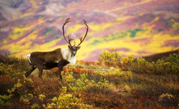обоя животные, олени, осень, луга, рога, карибу, олень, северный