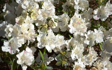 обоя цветы, рододендроны , азалии