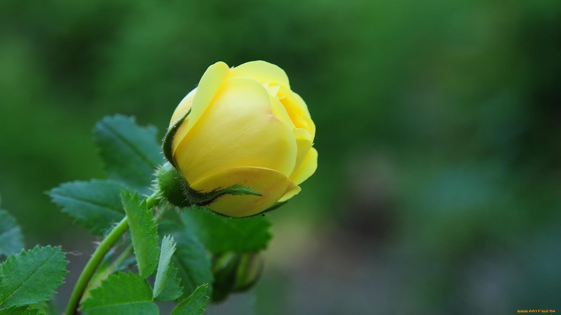 природа желтая роза цветы на телефон