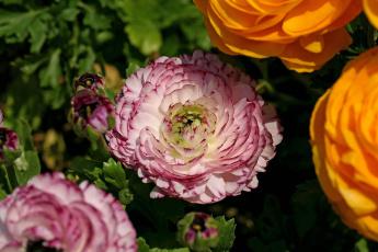 Картинка цветы ранункулюс азиатский лютик бутоны