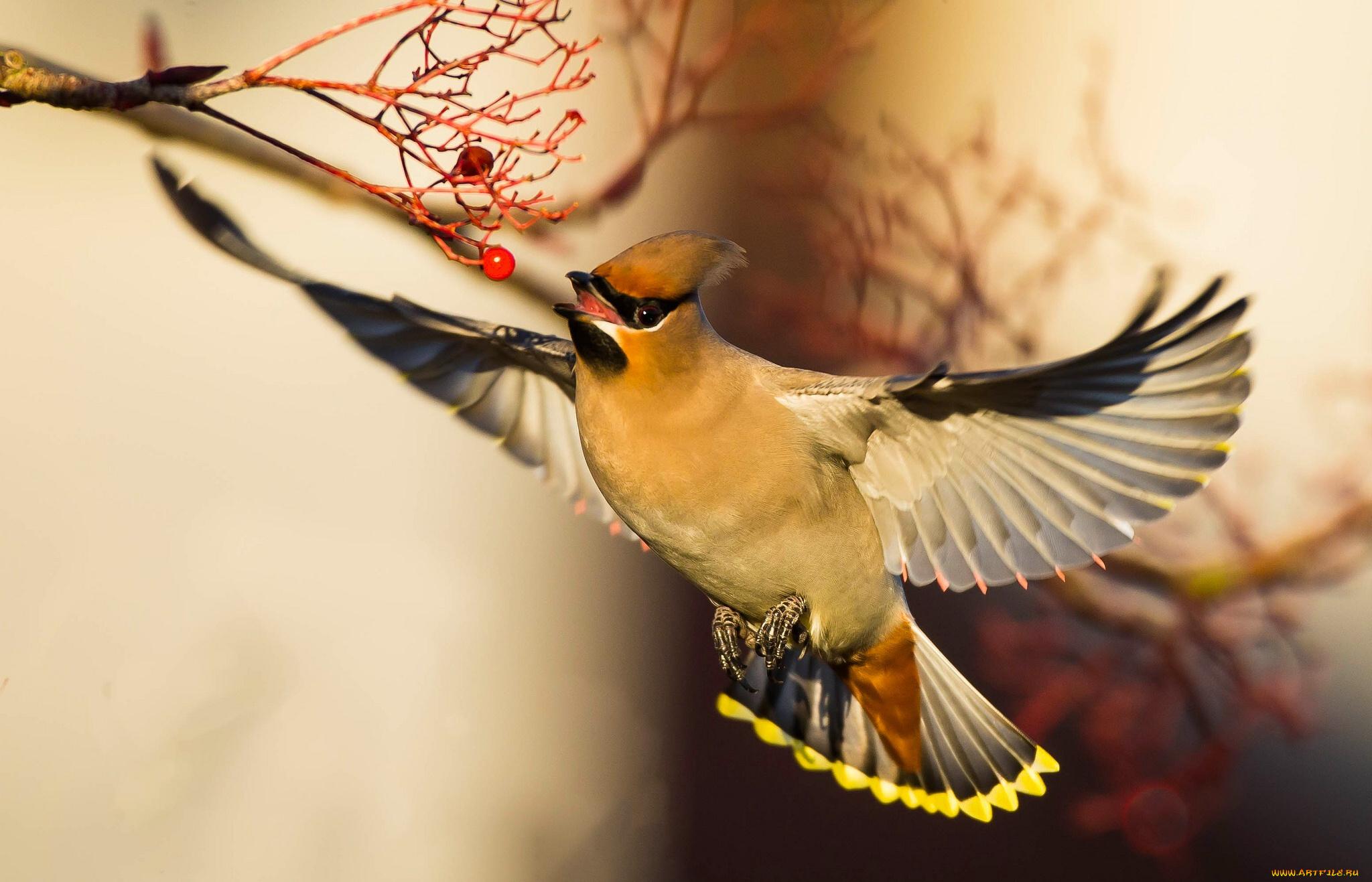 напыщенная птичка бесплатно