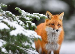 обоя животные, лисы, рыжая, зима, ель, ветки, снег, лиса