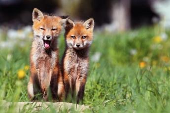 обоя животные, лисы, двое, лисички, утро