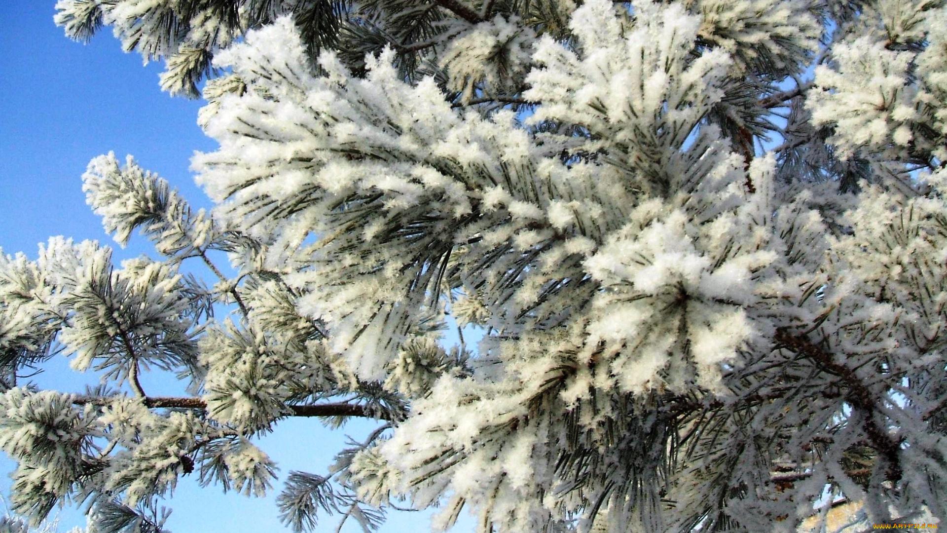 Сосны в снегу без регистрации