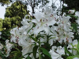 Картинка цветы лилии лилейники