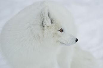 Картинка животные песцы белый пушистый нос