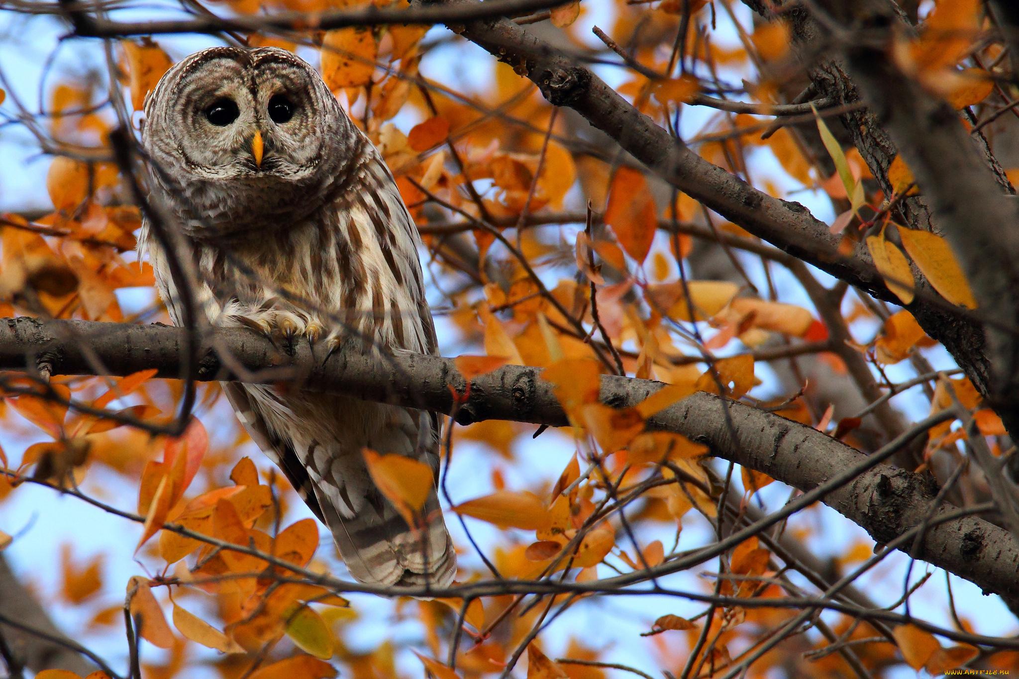 природа животные сова птицы осень листья загрузить