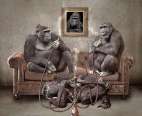 обоя юмор и приколы, кайф, кальян, обезьяны