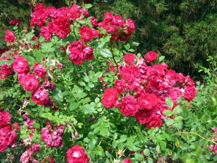 обоя цветы, розы, розовый, куст