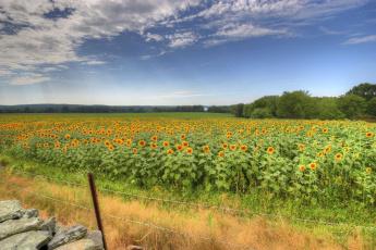 обоя цветы, подсолнухи, поле, пейзаж