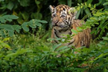 обоя животные, тигры, тигренок