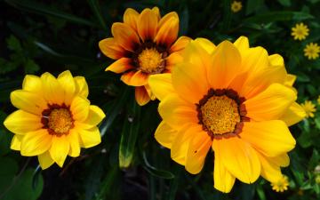 обоя цветы, газания, солнечный, яркий, желтый