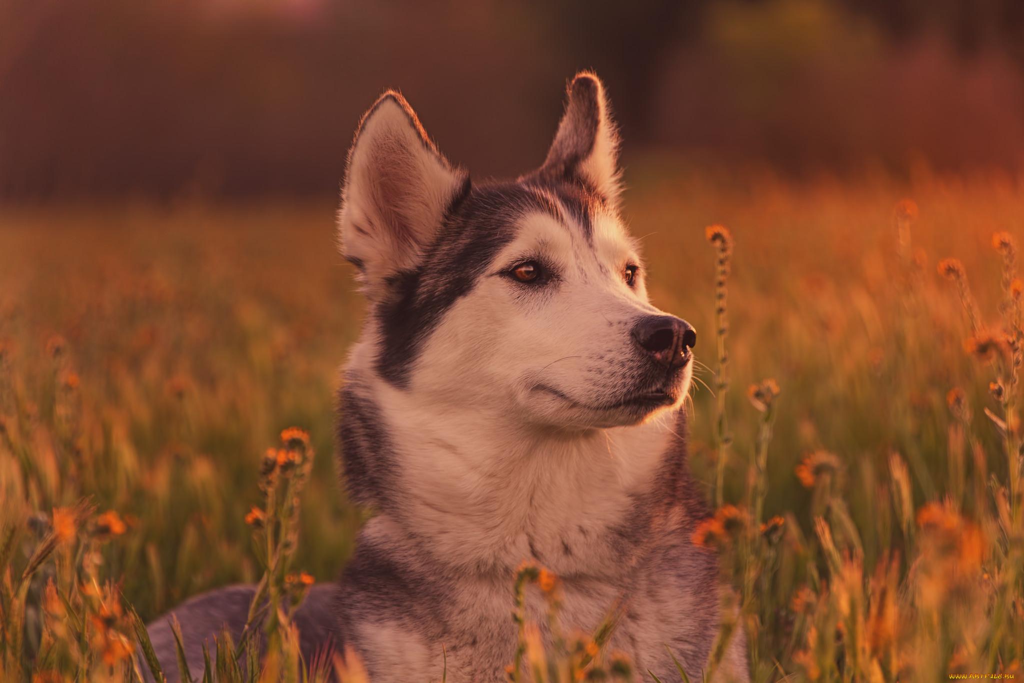природа животное собака морда хаски  № 3886610  скачать