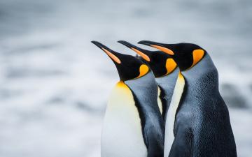 обоя животные, пингвины, профили, снег