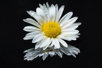 обоя цветы, ромашки, флора, цветок, чёрный, фон, ромашка