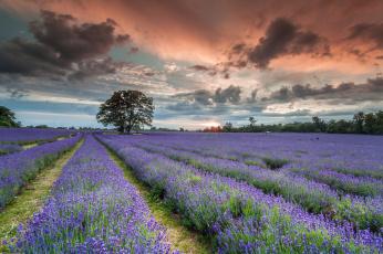 обоя цветы, лаванда, закат, поле, деревья