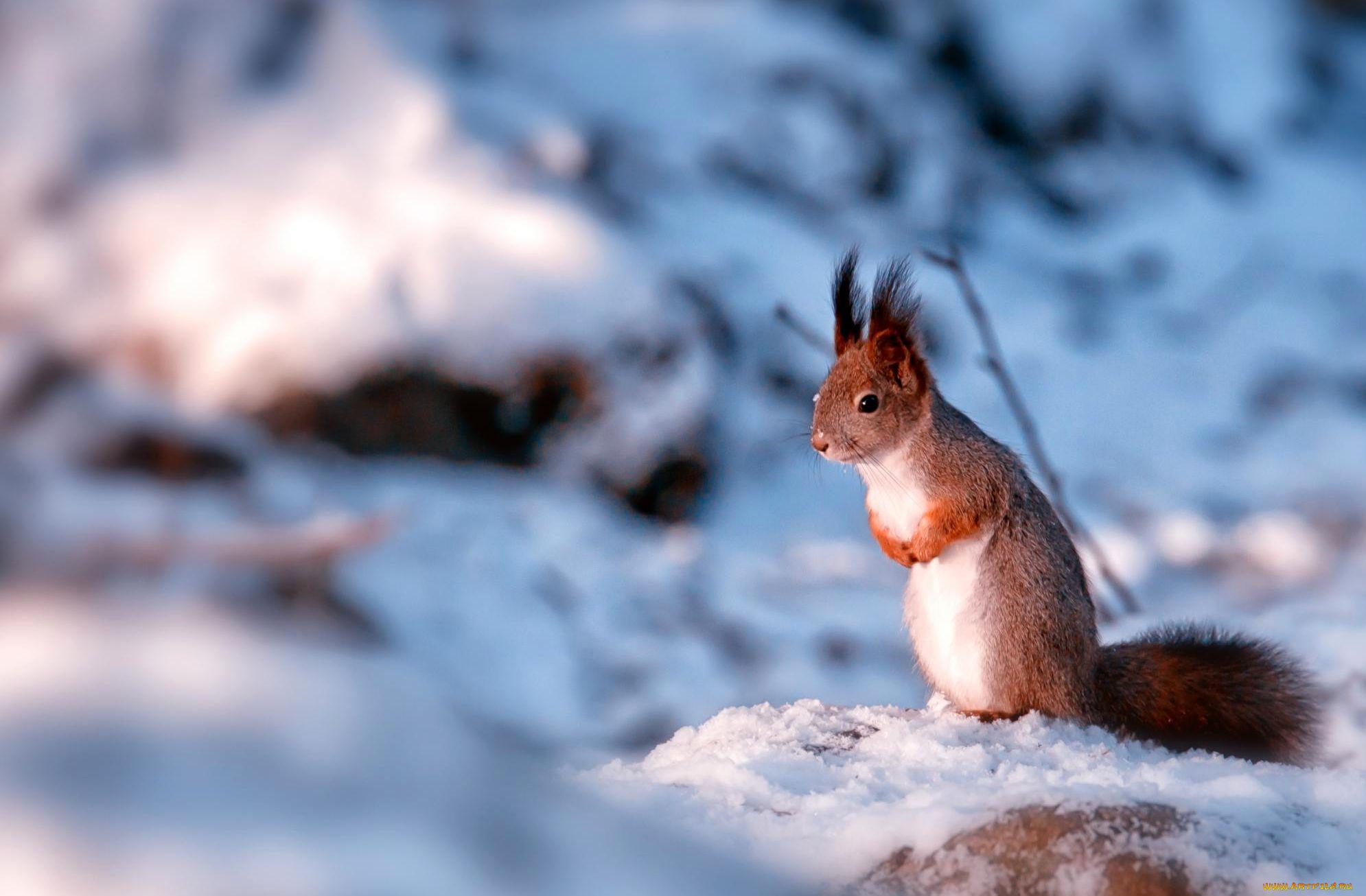 Картинки бельчонок на снегу